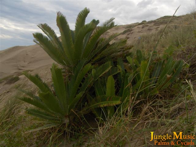 Dioon edule in habitat by JO